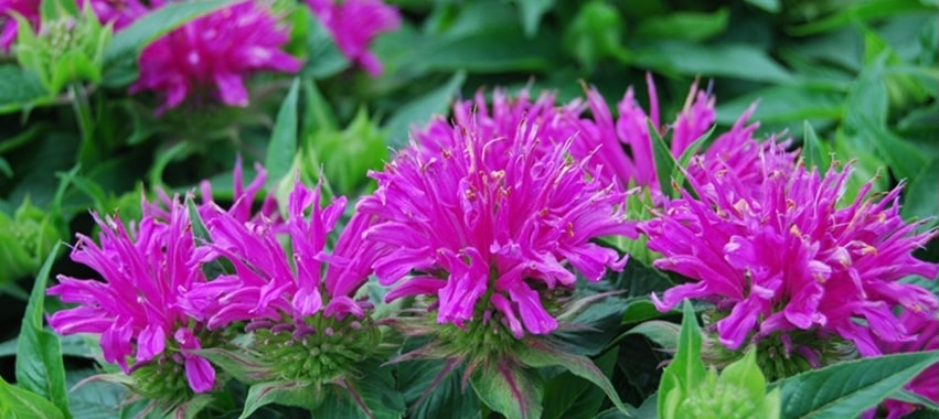 Bee Balm blooming flower