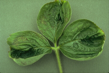 How does a calcium deficiency in plants look like?