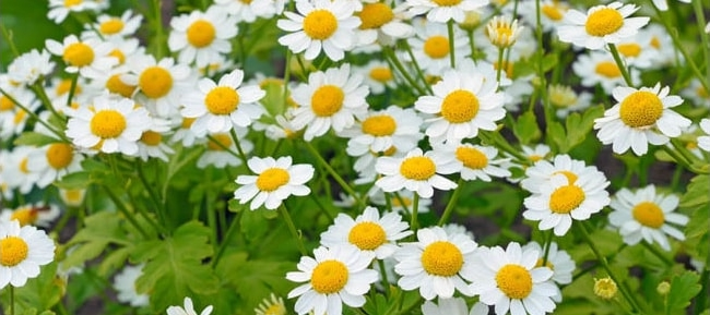 Feverfew blooming flower