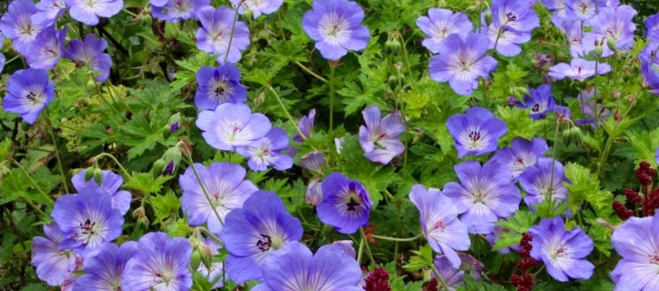 Geranium blooming flower