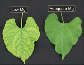 How does a magnesium deficiency in plants look like?