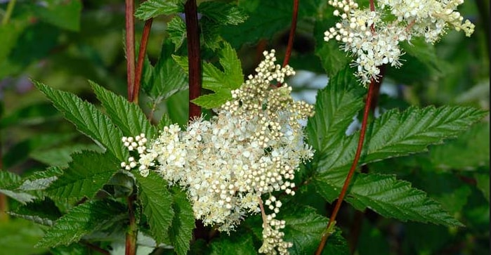 Meadowsweet bloom flower