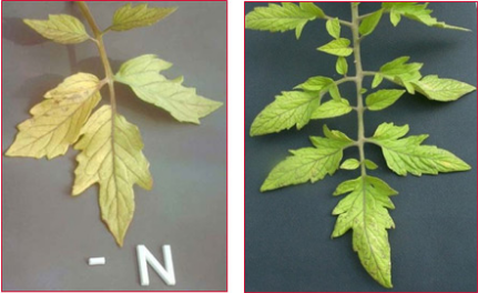 How does a nitrogen deficiency in plants look like?