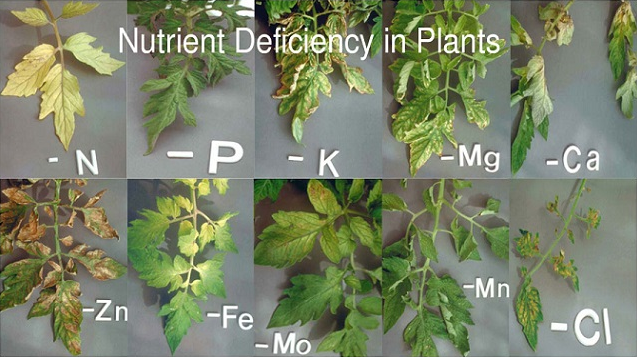 How does a nutrient deficiency in plants look like?