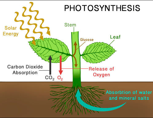 How do plants do photosynthesis?
