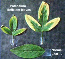 How does a potassium deficiency in plants look like?