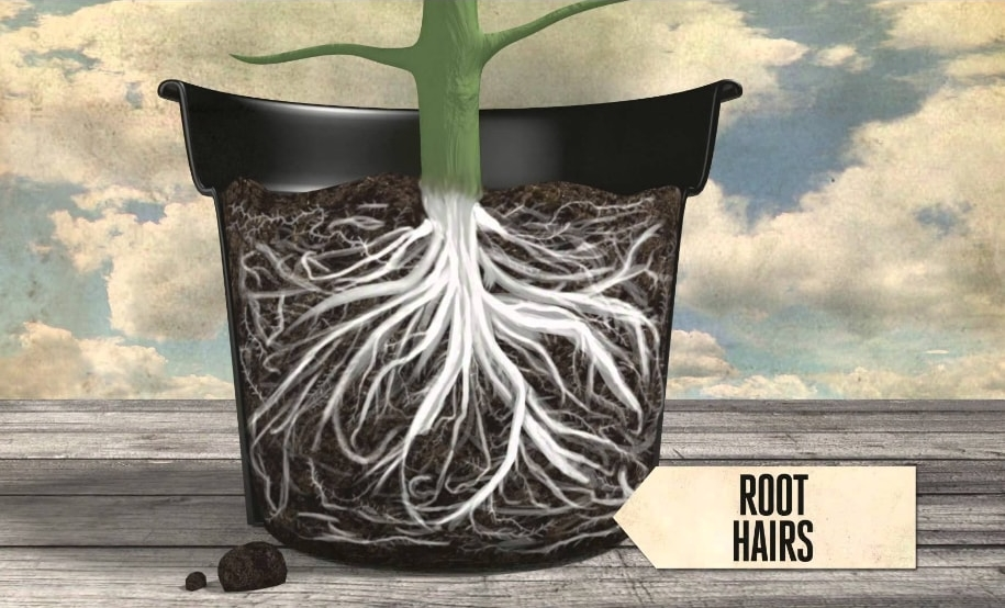 How roots absorb water and minerals from soil?