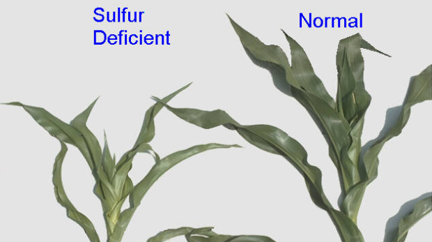 How does a sulfur deficiency in plants look like?