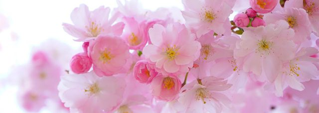 japanese-cherry-tree-flowers-spring-blooming