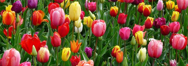 colorful-tulips-field-blooming